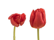 Two wet red tulips on a clean white background Royalty Free Stock Photos