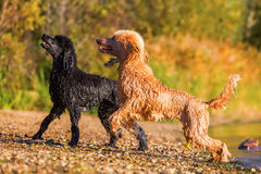 Two wet royal poodles at the beach Stock Images