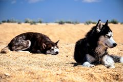 Two wet Siberian husky doze Stock Images
