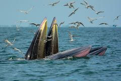 Two whale Mother and son opening their mouth to eat anchovy. Bryde`s Whale Stock Photos