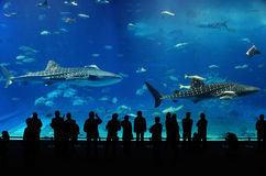 Two whale shark of Okinawa aquarium. People who are watching two whale sharks in front of acrylic tank. Scientific name is Rhincodon typus stock image