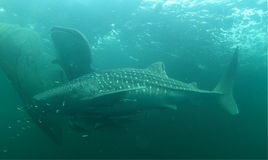 Two whale sharks Royalty Free Stock Photography