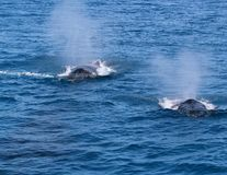 Two whales exhale. Whales exhaling spray mist into the air Stock Photo