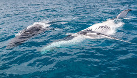 Two whales flirting. The large female rolls on her back to flirt with the smaller male Royalty Free Stock Photo