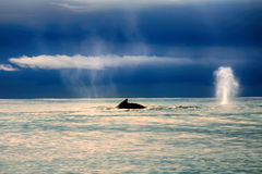 Whales in the Pacific ocean stock photo