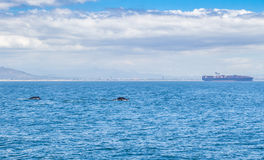 Two whales swimming near Cape Town Royalty Free Stock Images
