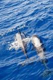 Whales in tenerife Stock Photo