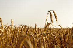 Two wheat ears rise high above the field Royalty Free Stock Photo