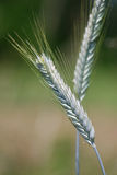 Two wheat stems stock photo