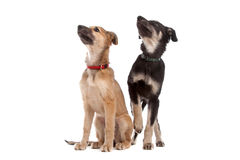 Two whippet puppy dogs Stock Images