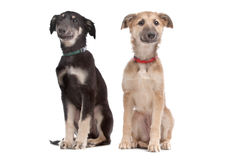Two whippet puppy dogs Royalty Free Stock Image