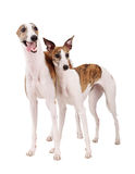 Two Whippet of white background Stock Photo