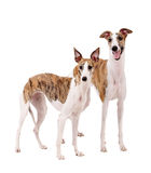 Two Whippet of white background Royalty Free Stock Photo