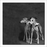 Two Whippets. Standing Royalty Free Stock Images