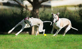 Two whippets chasing a ball. In a park Stock Photo