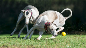 Two whippets chasing a ball. In a park Royalty Free Stock Photos