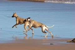 Two whippets enjoying the beach Stock Image