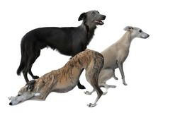 Three gracefully whippets posing for a photo royalty free stock photo
