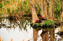 Two Whistling Ducks Stock Photo