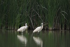 Two white agro on the lake, Lerida. Two white agro in the lake, with a long spoon-shaped beak with a small spot on the tip, long legs. migratory and large bird stock photo