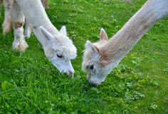 Two white Alpaca Llamas grazing grass Stock Photos