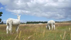 Two white Alpacas stood in a field. Video of two white Alpacas stood in a field stock footage