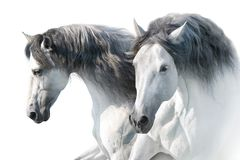 White horses in high key. Two White andalusian horse portrait on white background. High key image royalty free stock photos