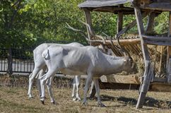 Two white antelopes feed with hay in rack at park Stock Photos