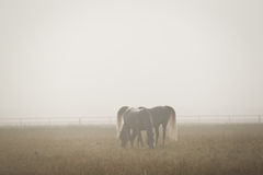 Two white arabian horses in the morning fog Royalty Free Stock Photo