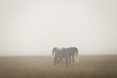 Two white arabian horses in the morning fog Royalty Free Stock Photo