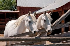 Two White Arabian Horses in a Pen. Two white, Arabian horses standing in pen in front of a rustic, red barn Stock Images