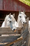 Two White Arabian Horses in a Pen. Two white, Arabian horses standing in a pen in front of a rustic, red barn Stock Photos