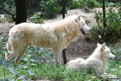 Two white arctic wolves in the forest stock photography