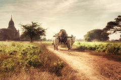 Two white asian oxen pulling wooden cart on dusty road. Myanmar. Amazing asian rural landscape with two white oxen pulling wooden cart with hay on dusty road at Royalty Free Stock Image