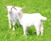 Two white baby goat stock photos