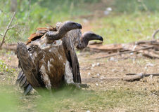 Two White Backed Vultures in Kruger Park Royalty Free Stock Image