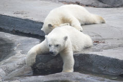 Two white bear cub. Lying on stones Royalty Free Stock Photography