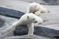Two white bear cub. Lying on stones Royalty Free Stock Images