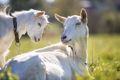 Two white bearded goats grazing in green meadow grass on bright sunny summer day.  royalty free stock photo