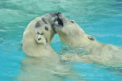 Two white bears play in the cold water Royalty Free Stock Photography
