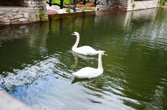 Two white beautiful majestic swan swimming on a pond Stock Photography
