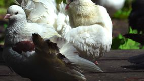 Two white beautiful pigeons clean their feathers. They are sitting on the wooden walkway in the park stock video footage