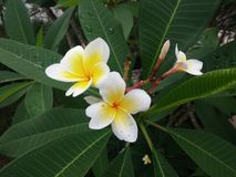 Two white beautiful plumeria flowers blooming on the tree Stock Image