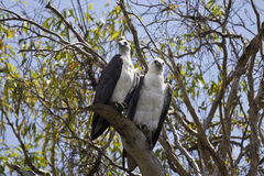 Two White-bellied Fish Eagle in Kakadu National Park, Australia Stock Photo