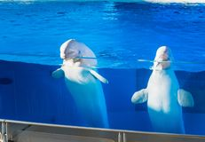 Two white beluga whales with their heads raised royalty free stock images