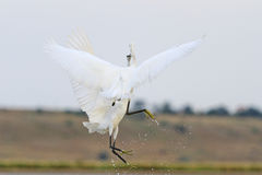 Two white birds in flight fight face to. Face,little egret, conflict, waterbirds, wildlife royalty free stock photo