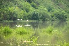 Two white birds fly over the transparent surface of the lake on a summer day. stock photo