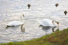 Two white birds - swans - and tree ducks in pond, lake, river Royalty Free Stock Photography