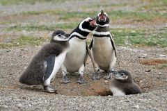 Two White-and-black Adult Penguins Near Two Penguin Chicks Stock Photos