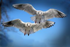 Two White and Black Bird Flying during Daytime Stock Photography